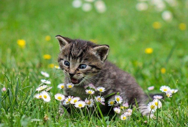 prix vaccin chat